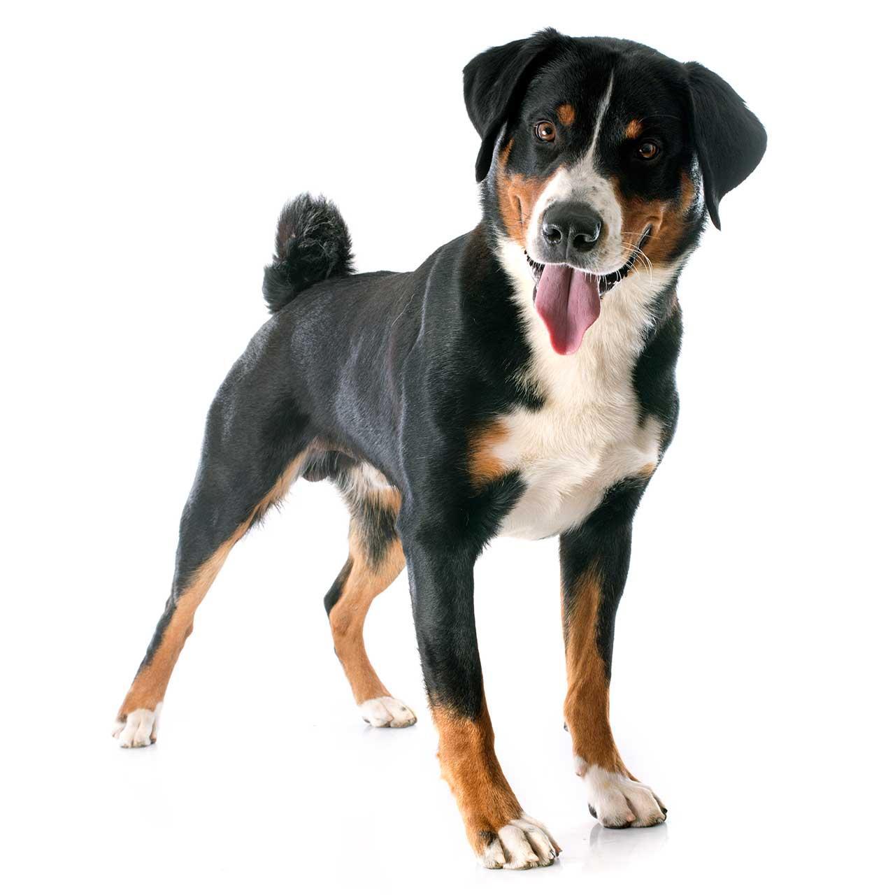 Tri color appenzeller sennenhund appenzeller sennenhund · black tan white basenji