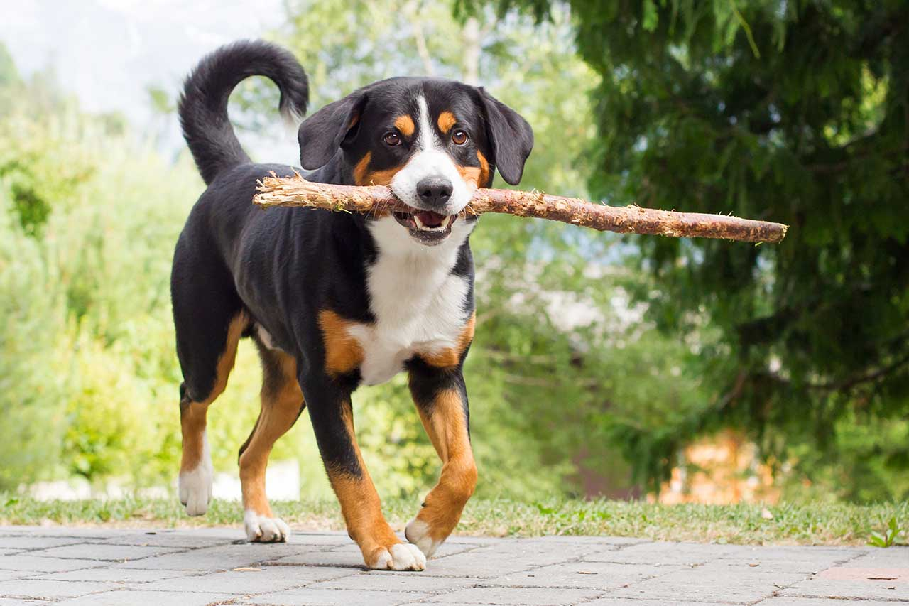 Small Loyal Dog Breeds