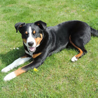 Appenzell Mountain Dog Breed