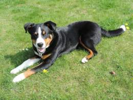 White Black And Tan Appenzeller Sennenhund