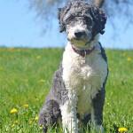 Blue Aussiedoodle
