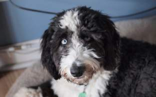 Black and White Aussiedoodle