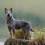 Blue Australian Cattle Dog