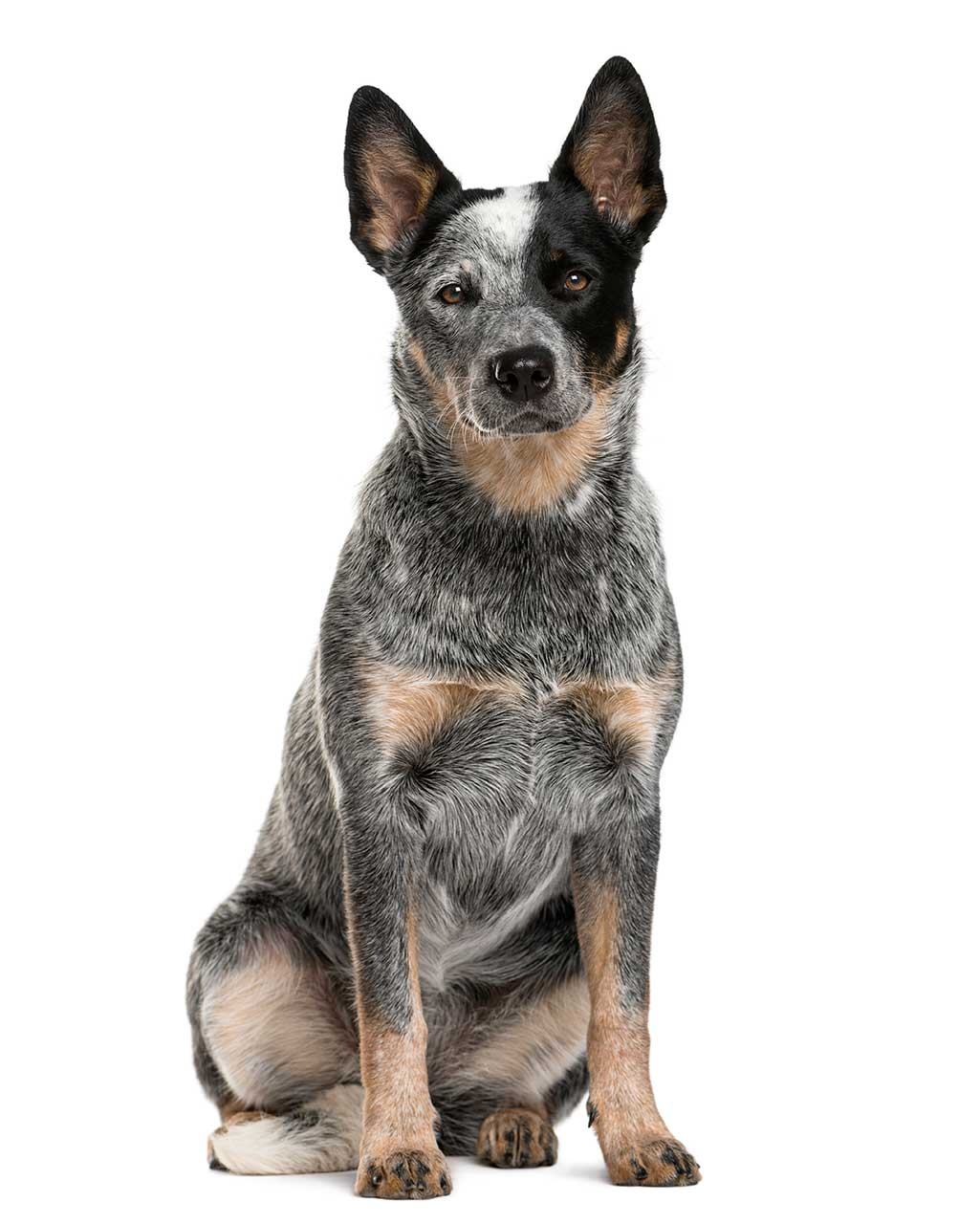 Australian Cattle Dog Brown And Black