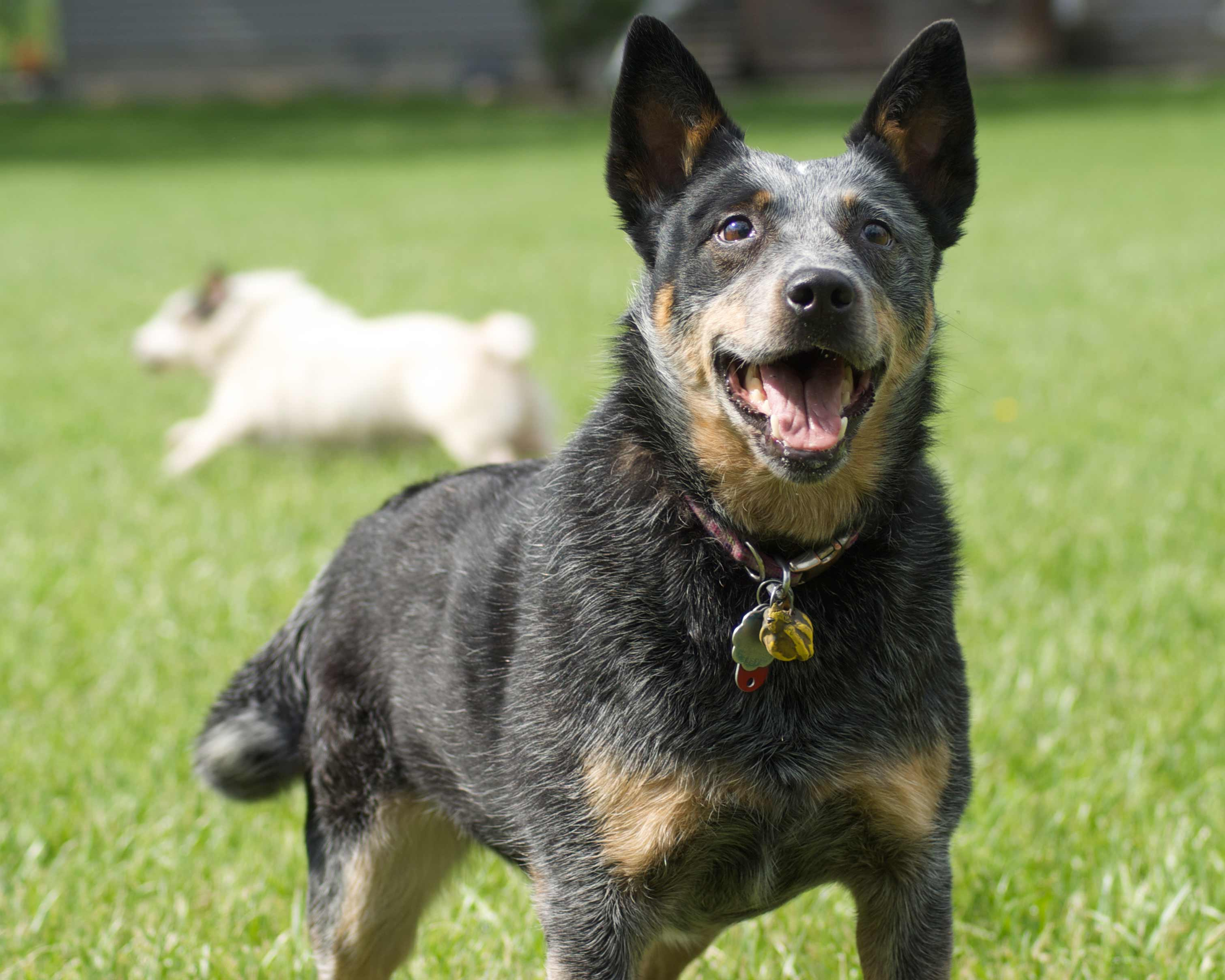 Australian Cattle Dog Breed » Information, Pictures, & More