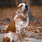 Red Mottled Australian Cattle Dog