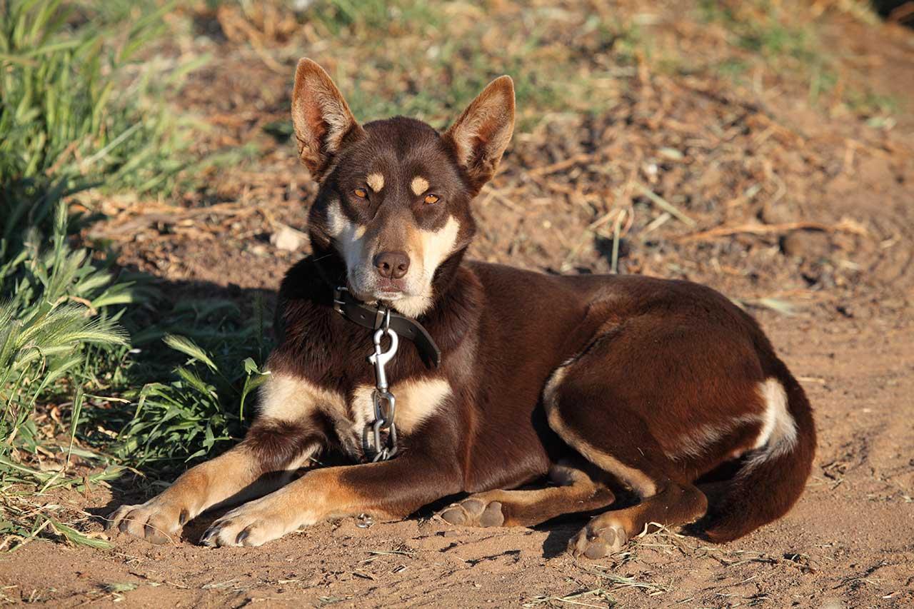 Australian Kelpie Dog Breed » Everything About Australian