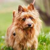Red Australian Terrier