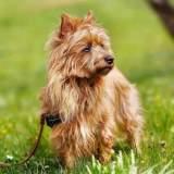 Sandy Australian Terrier
