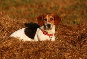 Bagle Hound (Basset Hound Beagle Mix)