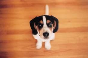 Bagle Hound Puppy
