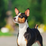 Black Tan & White Basenji