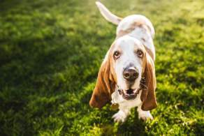 Basset Hound Enjoying Outside