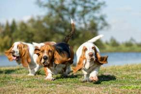 Basset Hounds Having Fun Outside