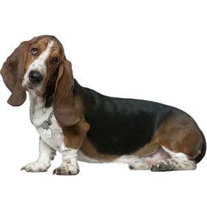 Basset Hound Dog Breed