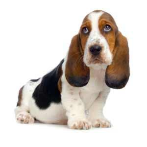 Basset Hound Dog Breed...