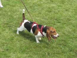 White Black & Brown Basset Hound