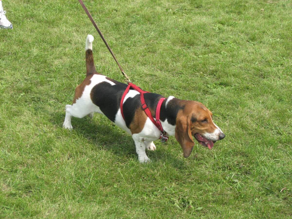 D&S Ranch Basset Hounds - Puppies for Sale  |Black And White Hound Dog