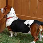 White Black And Red Basset Hound