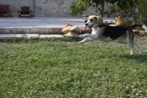 Black Tan & Bluetick Beagle