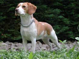 Proud Beagle