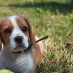 Red & White Beaglier Puppy