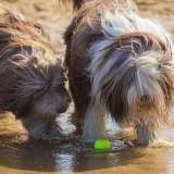 Brown & White Bearded Collies in the Water