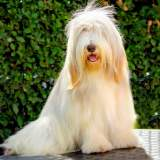 Fawn & White Bearded Collie Sitting Outside