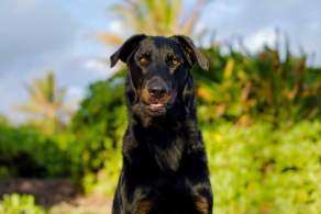 Black and Tan Beauceron
