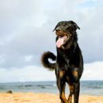 Beauceron on the beach