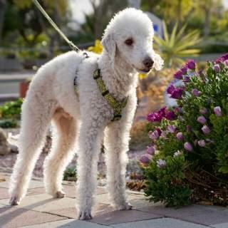 Bedlington Terrier Outside