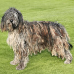 Gray Bergamasco