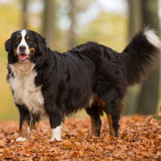 Bernese Mountain Dog Breed Info Pictures More