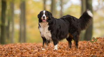 Bernese Mountain Dog Enjoying a Forest