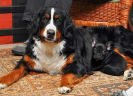 Black Rust And White Bernese Mountain Dog