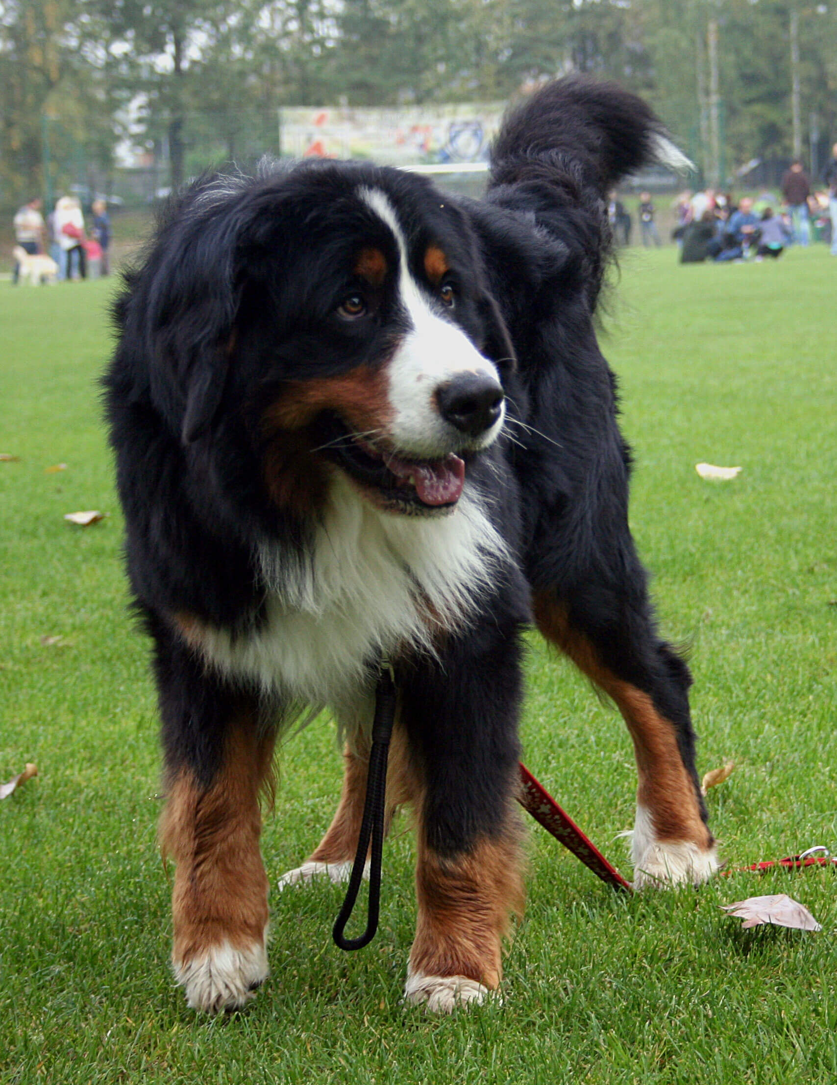 bernese mountain dog breed info pictures more. Black Bedroom Furniture Sets. Home Design Ideas