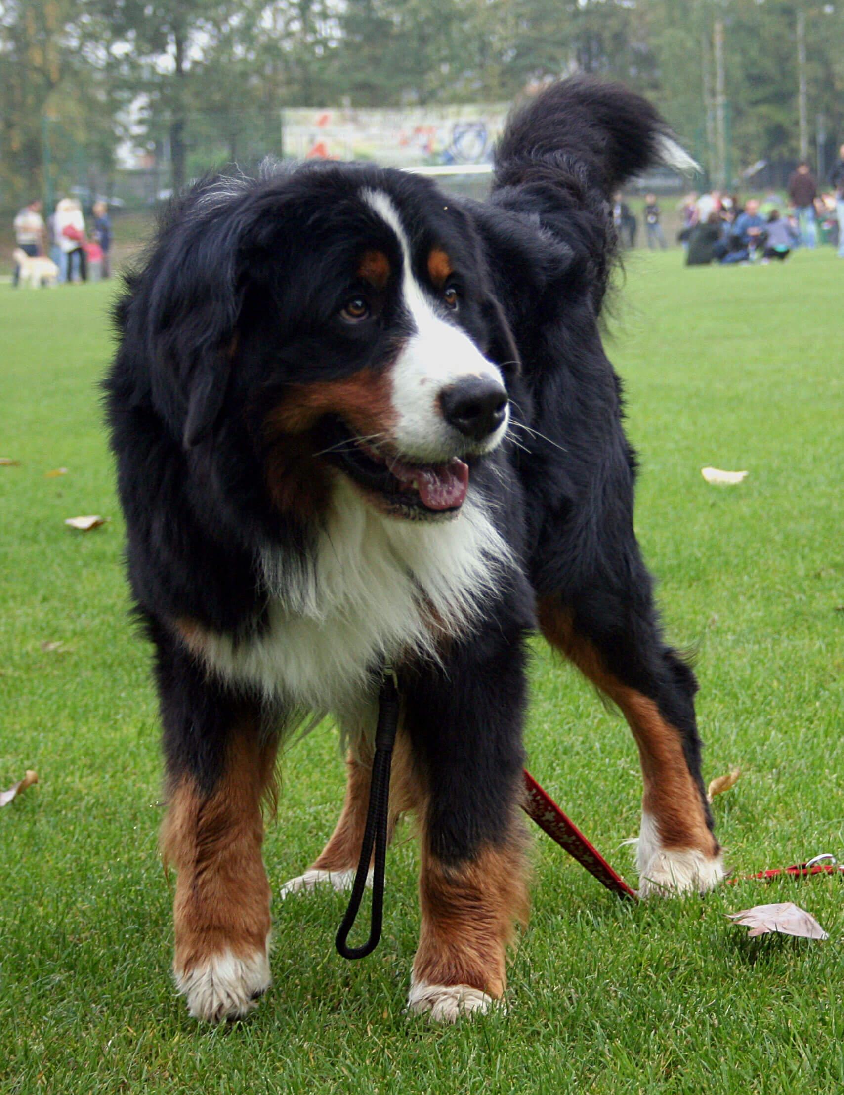 Burmese Mountain Dog Uk