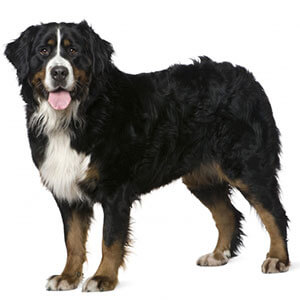 Bernese Mountain Dog Dog Breed