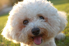 Bichon Frise Head