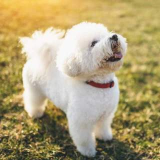 Happy Bichon Frise