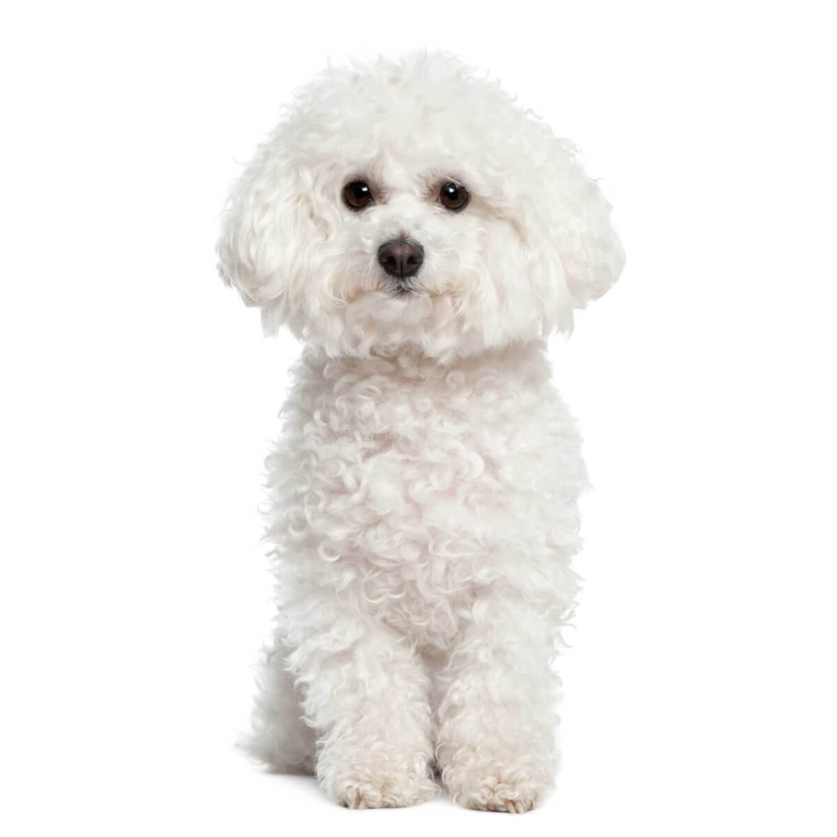 Bichon Frise Dog Breed Information Pictures More