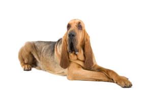 Liver & Tan Bloodhound