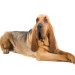Liver & Tan Bloodhound