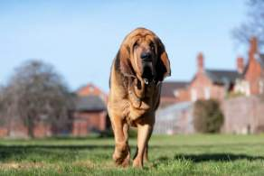 Bloodhound Patrolling Outside