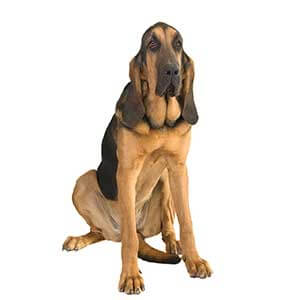 Black and Tan Bloodhound