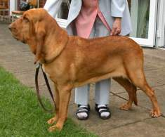 Red Bloodhound
