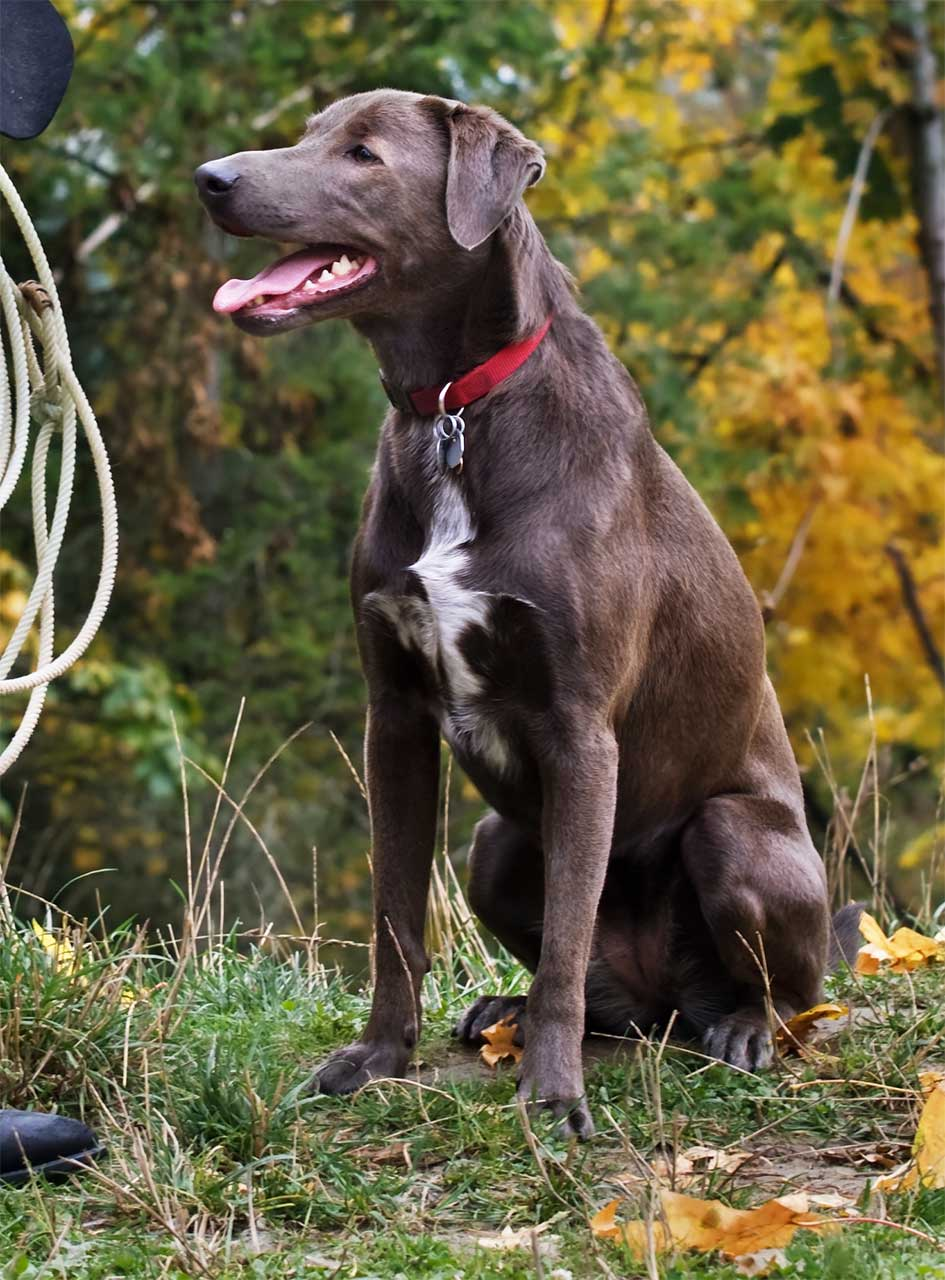 blue lacy dog breed picture and images
