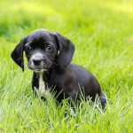 Black Bocker Puppy