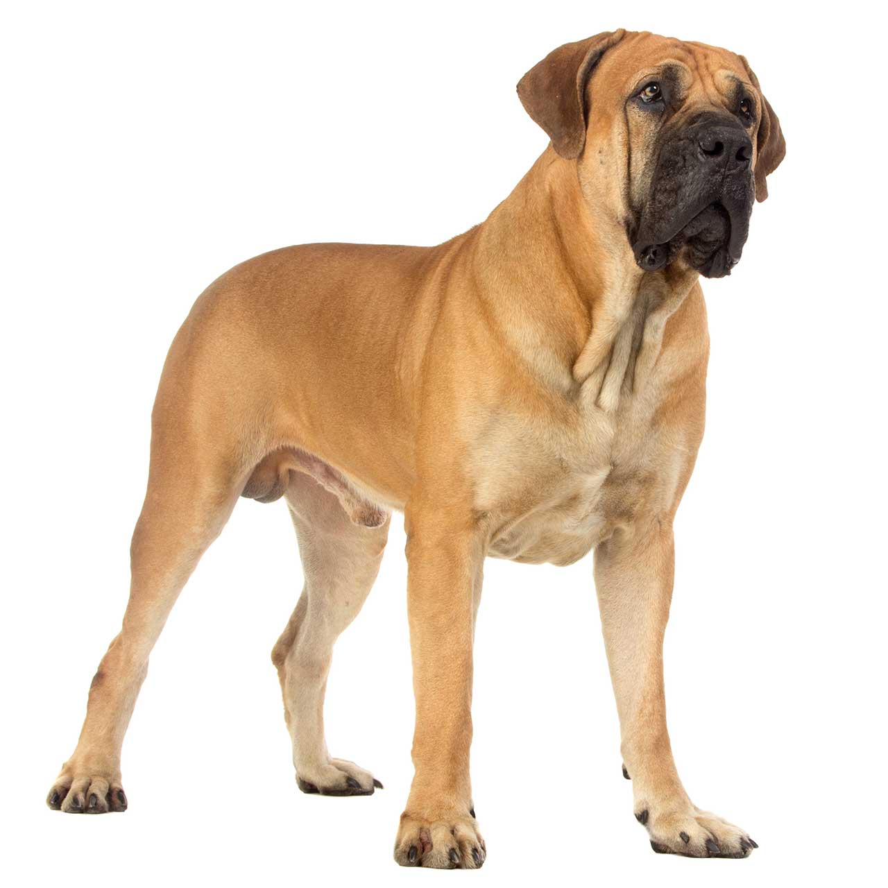 South African Dog Breeds