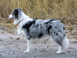 Blue Merle Border Collie